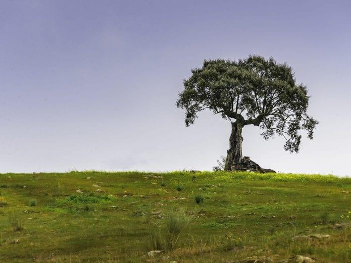 lonely tree in Alentjo Portugal