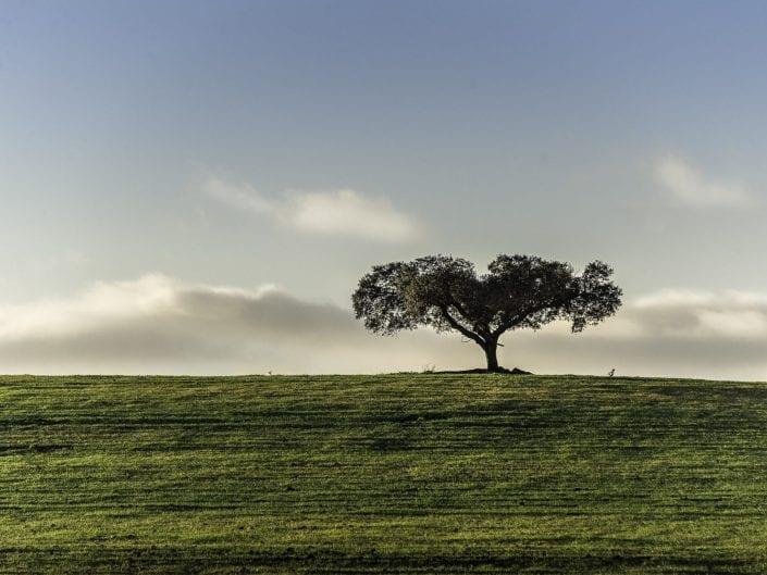 lonely oak tree in alentejo Portugal in a green meadow