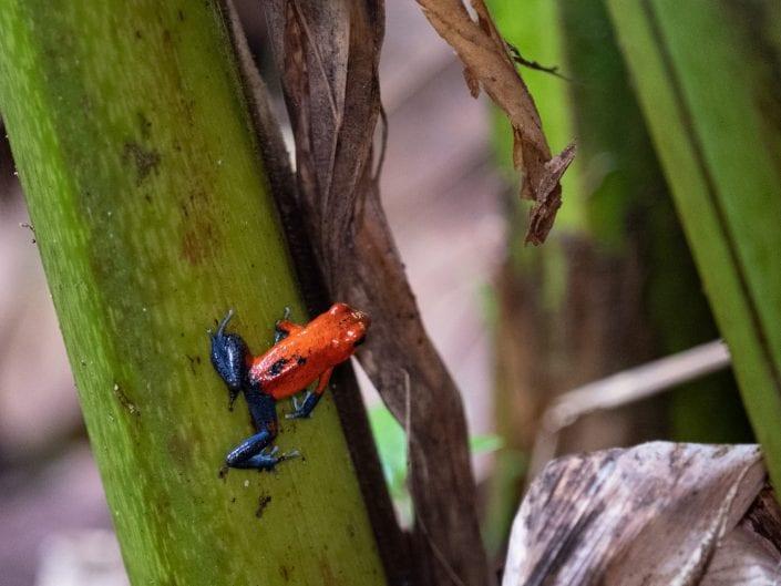 blue jeans frog Costa Rica