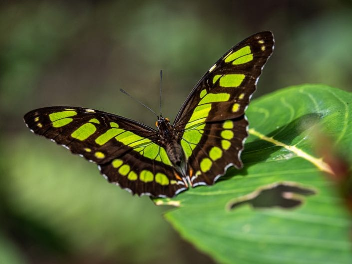 green butterfly Costa Rica