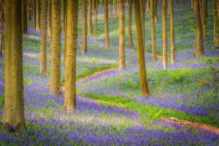 bleu bells landscape in Hallerbos Belgium, flowers, blooms, purple, blue, hyacint