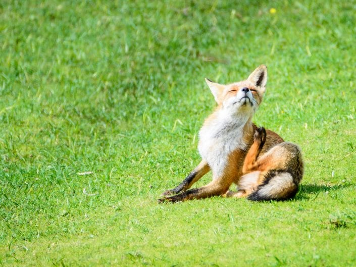 young fox sitting on the grass scratching his back, Waterleidingsduinen, Netherlands