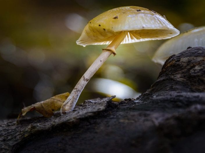 mushroom, nature, yellow