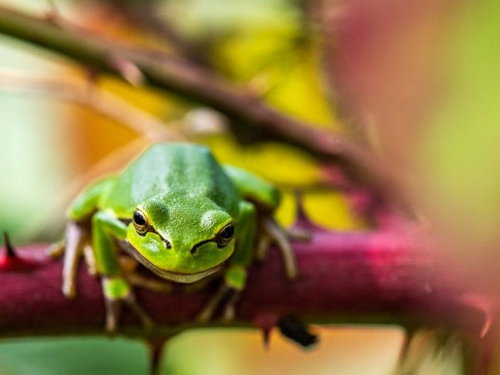 European green tree frog, nature,L imburg, Belgium,