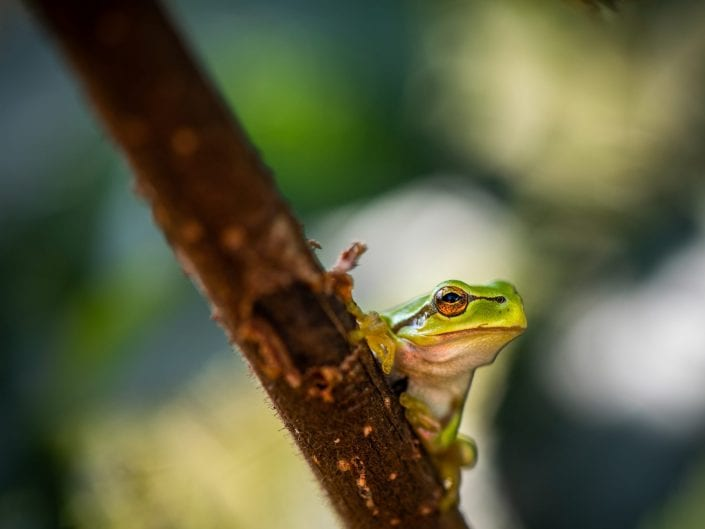 European green tree frog on branch, nature photograpy, green,