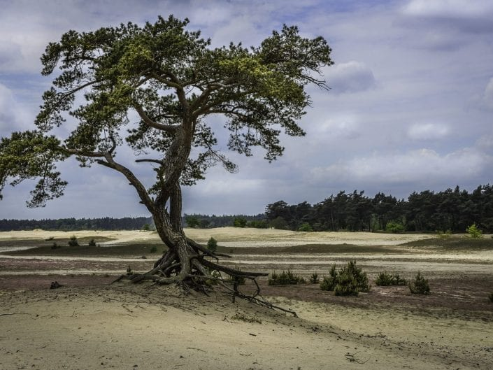 Lone pine tree with bare roots in the sand of the Veluwe park Netherlands
