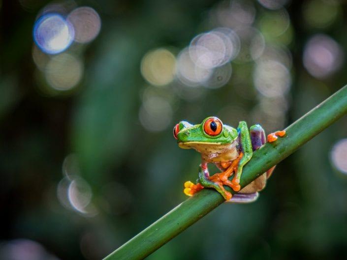 red eye tree frog Costa Rica