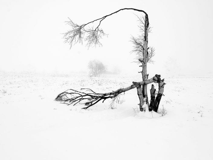 Snow covered minimalist broken tree in moorland at Noir Flohay with lots of burned trees in the mist of nature reserve High Fens / Hautes Fagnes /Hoge Venen in winter, Ardennes, Belgium, black and white