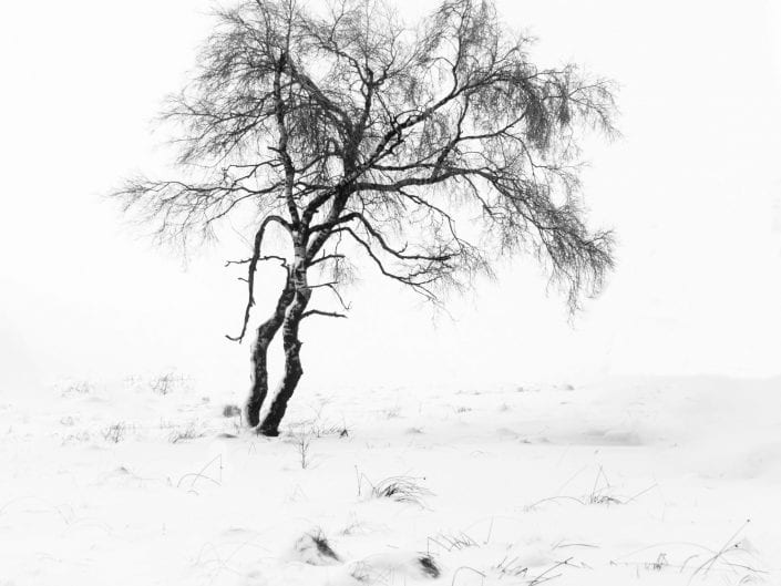 Snow covered trees in moorland at Noir Flohay with lots of burned trees in the mist of nature reserve High Fens / Hautes Fagnes / Hoge Venen in winter, Ardennes, Belgium