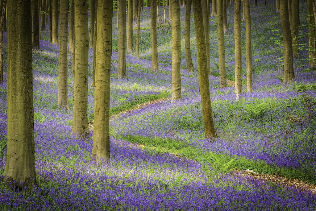 forest-scape of bleubells with S-shaped path as lead in line hallerbos belgium