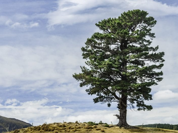 massive lonely pine tree in New Zealand