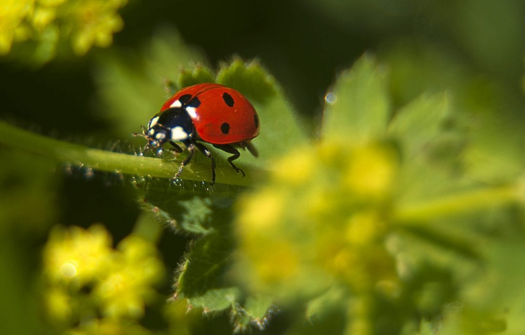 nature photography ladybird