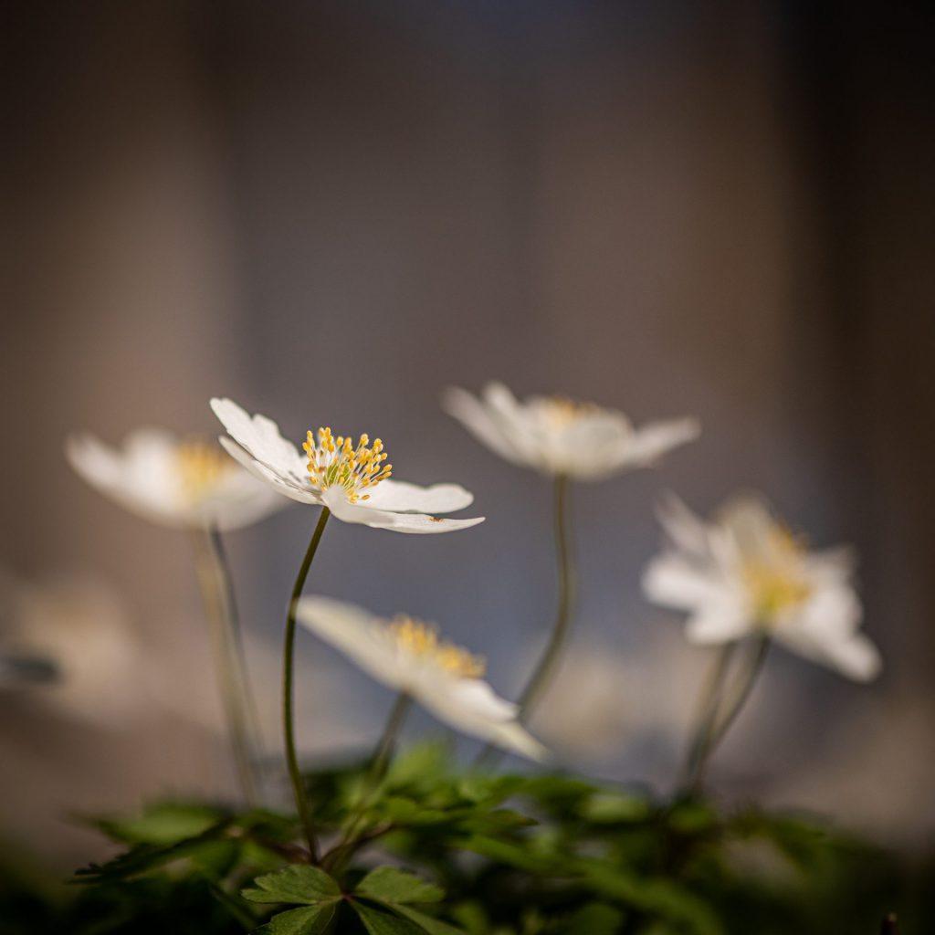anemona nemorosa group of flowers