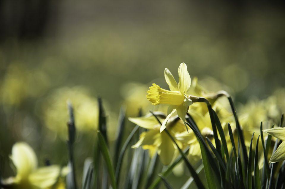 yellow wild daffodils