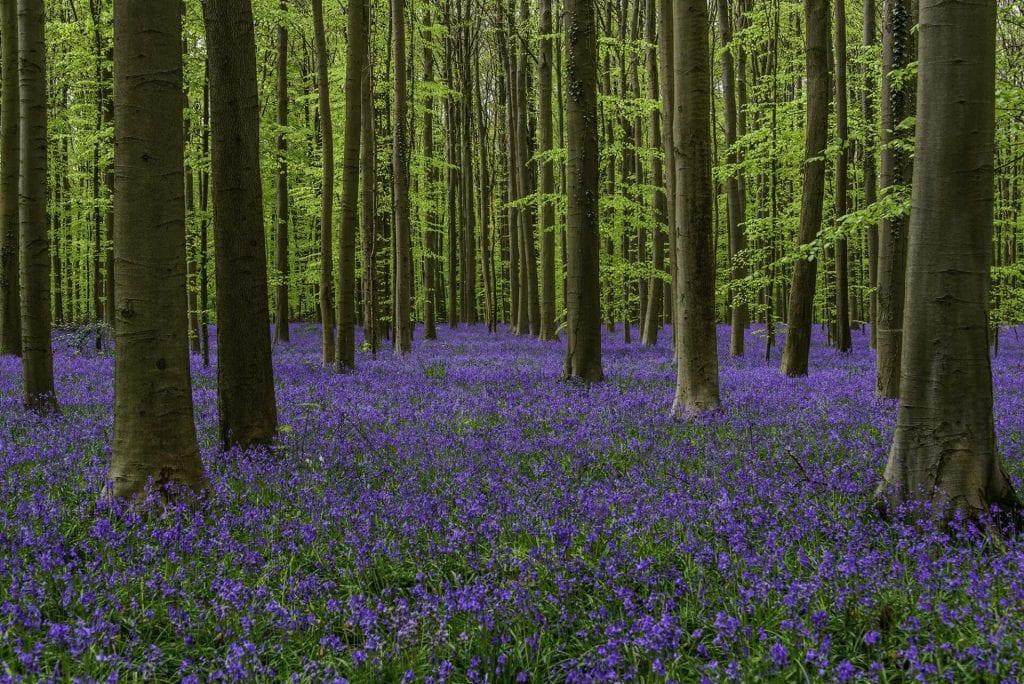 Landscape photo of a sea of bluebells in Hallerbos, Belgium