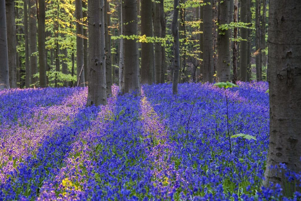 Shadow and sun create different colours for the same bluebells in Hallerbos, Belgium