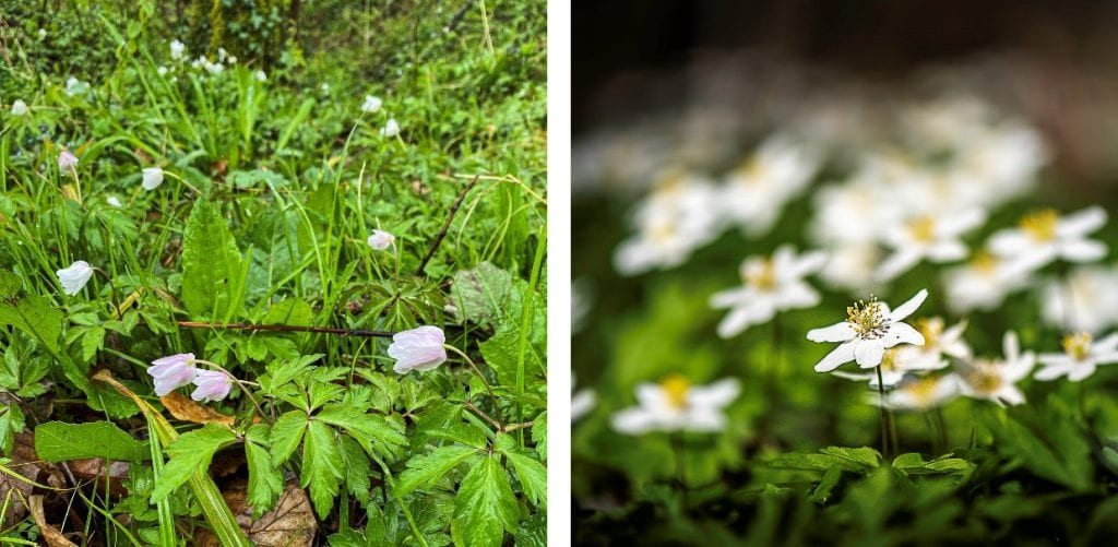 The anemones on the left were closed on a colder rainy day, but bright on a sunny day