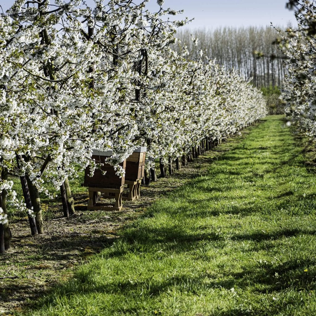 photo of pear orchard wiht beehives