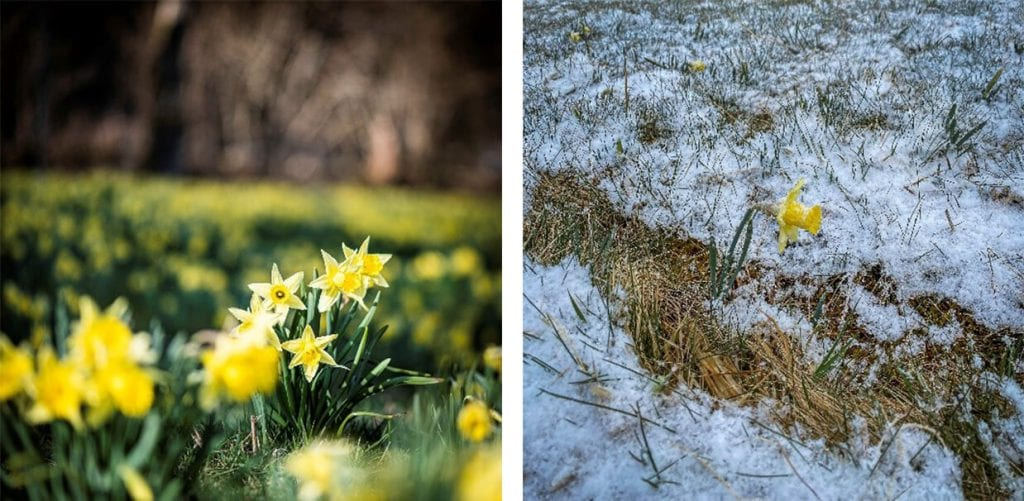 wild daffodils pictures taken with 1-day difference